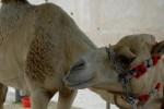 Äntligen en kamel!