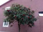 Trädet i Skövde
