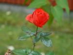 En ros till mor
