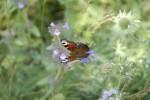 Fjäril spegelvänd