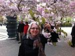 Körsbär i Kungsträdgården