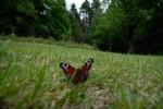 Sommarens sista fjäril