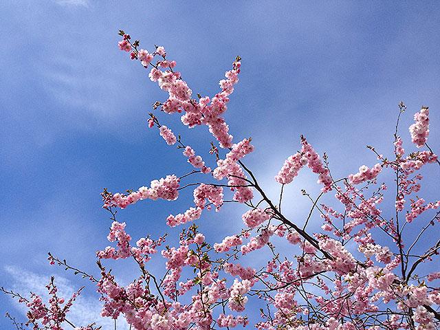Körsbärsblommorna i Kungsan är ett måste
